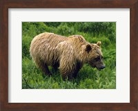 Rain-Soaked Grizzly Bear In Grass, Profile, Denali National Park, Alaska Fine-Art Print