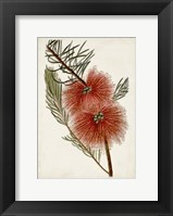 Bottle Brush Flower I Fine-Art Print
