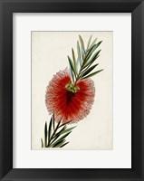 Bottle Brush Flower III Fine-Art Print