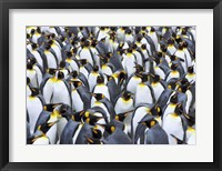 King penguin colony, Antarctica Fine-Art Print