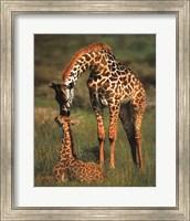 Giraffes Wall Poster