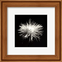 Spider Mum, Flower Series I Fine-Art Print