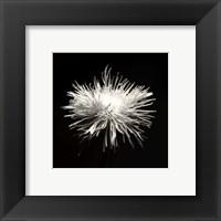 Spider Mum, Flower Series I Fine-Art Print