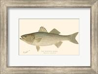 Striped Bass Fine-Art Print