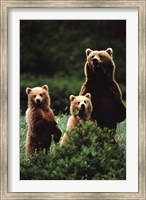 Bears Wall Poster