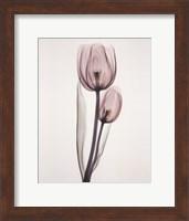 Tulipa Two Fine-Art Print