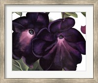 Black and Purple Petunias Fine-Art Print