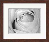 Rose Fine-Art Print