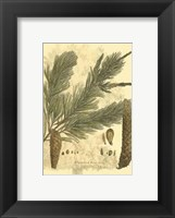 Small Antique Weymouth Pine Tree Fine-Art Print