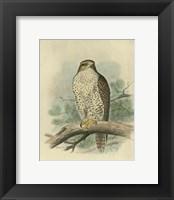 Iceland Falcon Fine-Art Print