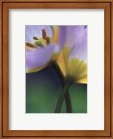 Tulipe 7 Fine-Art Print