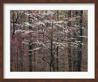 Pink and White Dogwoods, Kentucky Fine-Art Print