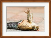 Close-up of a snake eating a frog Fine-Art Print