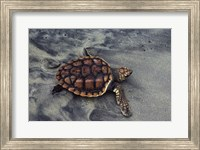 Loggerhead Turtle (Yearling) Fine-Art Print