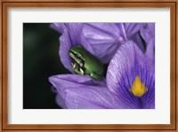 White's Tree Frog Fine-Art Print