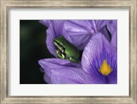 White's Tree Frog Fine-Art Print