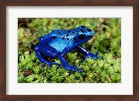 Close-up of a Blue Poison Dart Frog in the grass Fine-Art Print