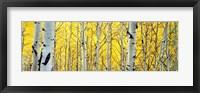 Aspen trees in a forest Fine-Art Print
