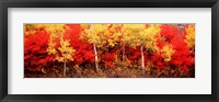 Aspen and Black Hawthorn trees in a forest, Grand Teton National Park, Wyoming Fine-Art Print