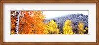 Aspen trees in a forest, Blacktail Butte, Grand Teton National Park, Wyoming, USA Fine-Art Print
