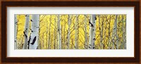 Aspen trees in a forest Fine-Art Print