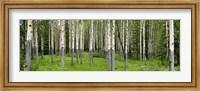 Aspen Trees Banff, Alberta, Canada Fine-Art Print