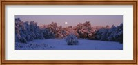 Snow covered forest at dawn, Denver, Colorado, USA Fine-Art Print