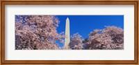 Cherry Blossoms Washington Monument Fine-Art Print