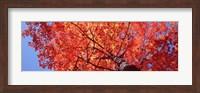 Low Angle View Of A Maple Tree, Acadia National Park, Mount Desert Island, Maine, USA Fine-Art Print