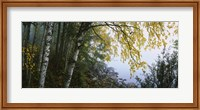 Birch trees in a forest, Puumala, Finland Fine-Art Print