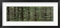 Trees in a forest, Spruce Forest, Joutseno, Finland Fine-Art Print