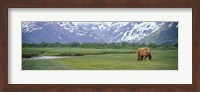Grizzly bear grazing in a field, Kukak Bay, Katmai National Park, Alaska Fine-Art Print