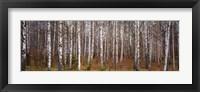 Silver birch trees in a forest, Narke, Sweden Fine-Art Print
