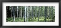 White Birches Aulanko National Park Finland Fine-Art Print