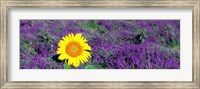 Lone sunflower in Lavender Field, France Fine-Art Print