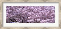 USA, Washington DC, Close-up of cherry blossoms Fine-Art Print