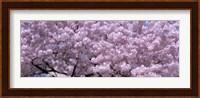 USA, Washington DC, Close-up of cherry blossoms Fine-Art Print