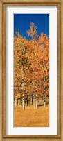 Aspen Trees, Lee Vining, California Fine-Art Print