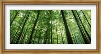 Low angle view of beech trees, Baden-Wurttemberg, Germany Fine-Art Print