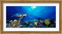 Hawksbill turtle (Eretmochelys Imbricata) and French angelfish (Pomacanthus paru) with Stoplight Parrotfish (Sparisoma viride) Fine-Art Print