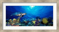 Hawksbill turtle (Eretmochelys Imbricata) and French angelfish (Pomacanthus paru) with Stoplight Parrotfish (Sparisoma viride) Fine-Art Print