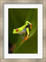 Close-up of a Red-Eyed Tree frog (Agalychnis callidryas) sitting on a leaf, Costa Rica Fine-Art Print