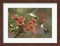 Hummingbirds and Trumpet Flowers Fine-Art Print