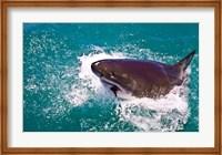 Great White Shark, Capetown, False Bay, South Africa Fine-Art Print