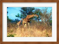 Adult and baby Cape Giraffe, (Giraffa camelopardalis giraffa), Kruger National park, South Africa Fine-Art Print