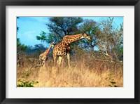 Adult and baby Cape Giraffe, (Giraffa camelopardalis giraffa), Kruger National park, South Africa Fine-Art Print