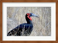 Close-up of a Ground Hornbill, Kruger National Park, South Africa Fine-Art Print