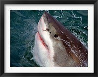 Great White Shark breaks the surface of the water in Capetown, False Bay, South Africa Fine-Art Print