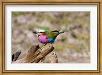 Lilac Breasted Roller, Kruger National Park, South Africa Fine-Art Print