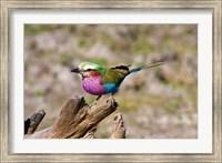 Lilac Breasted Roller, Kruger National Park, South Africa Fine-Art Print